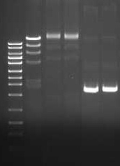 The T4 DNA ligase is free of detectable of exo- and endonuclease activities