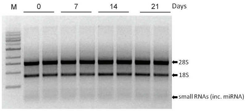RNA Stabilization RNA DNA Shield
