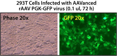 rAAV particles isolated using AAVanced Concentration Reagent are present at high copy numbers in 293T cells