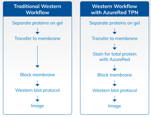 Total protein normalization with AzureRed fits easily into any Western blotting workflow