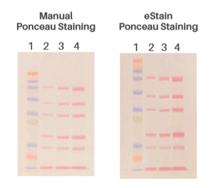 Bands are uniform with excellent reproducibility with either Coomassie Blue or Ponceau S solution