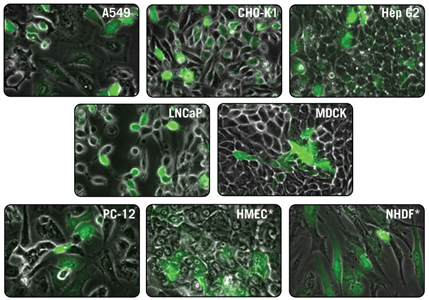 Visualization of High GFP Expression Using TransIT-X2® Dynamic Delivery System.