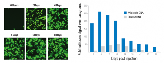 Transfection of 1 µg of minicircle DNA
