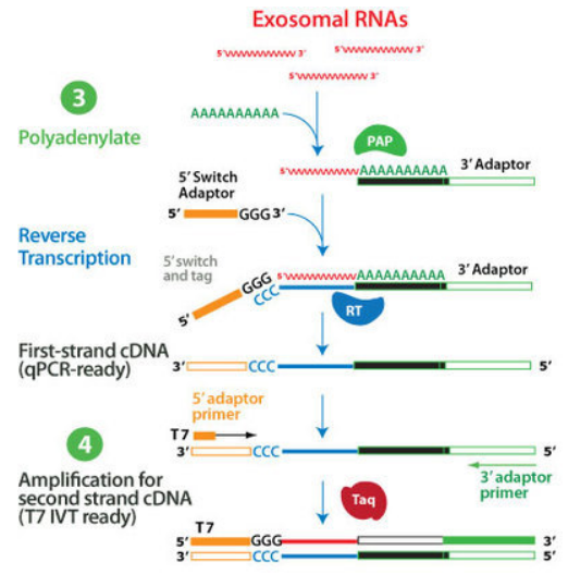 SeraMir: Tail exoRNAs and synthesize double-tagged cDNA