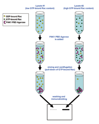 Small GTPase Activation Assays, Western Blot Workflow