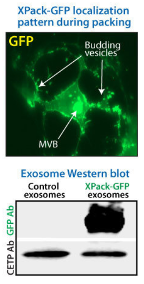 XPack efficiently packages GFP into exosomes. (