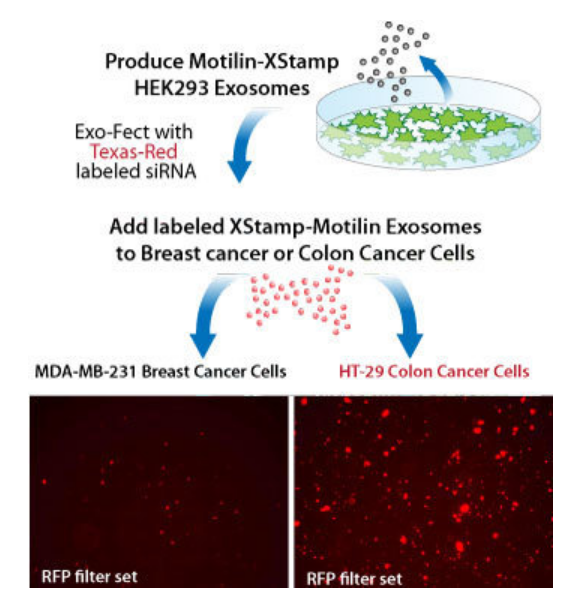 XStamp with motilin specifically targets exosomes to GI cells
